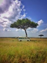 lonely tree in the moremi game drive safari national park in botswana