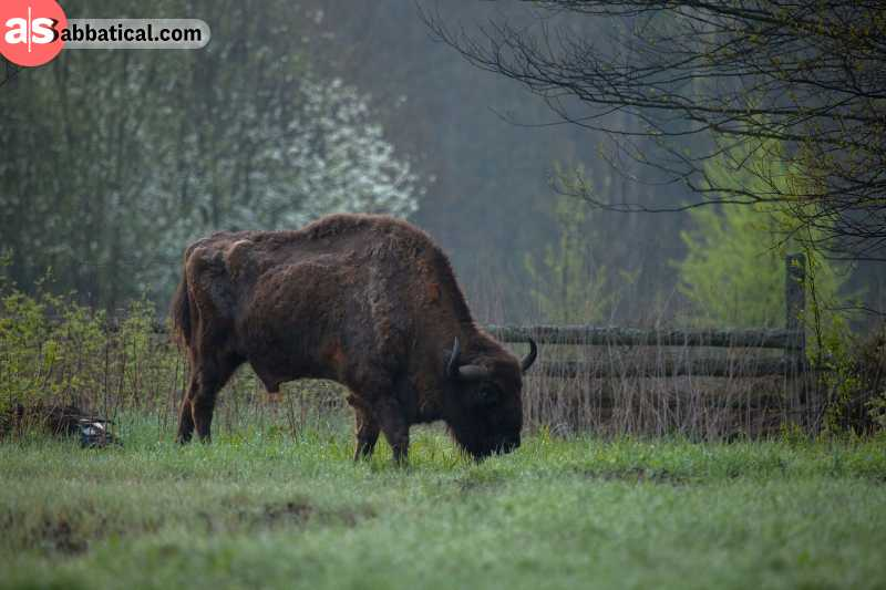 Belovezhskaya Pushcha National Park is one of the only places where you can see the European Bison.