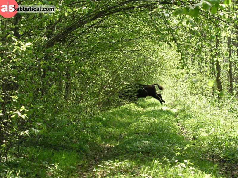 Bialowieza is a lush forest, the last remnant of the old European primeval forest, where the last European bison dwell.