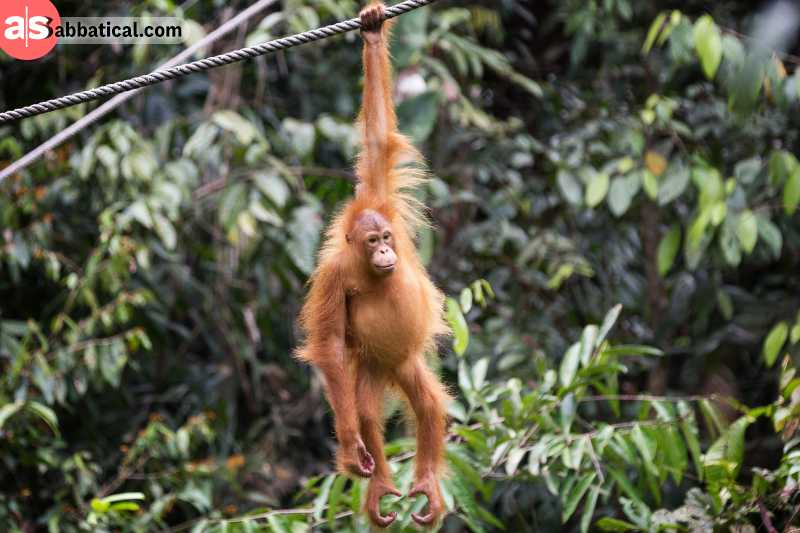 Borneo Forest has a rich wildlife, and it's the only place in the world where you can find the natural habitat of orangutans.