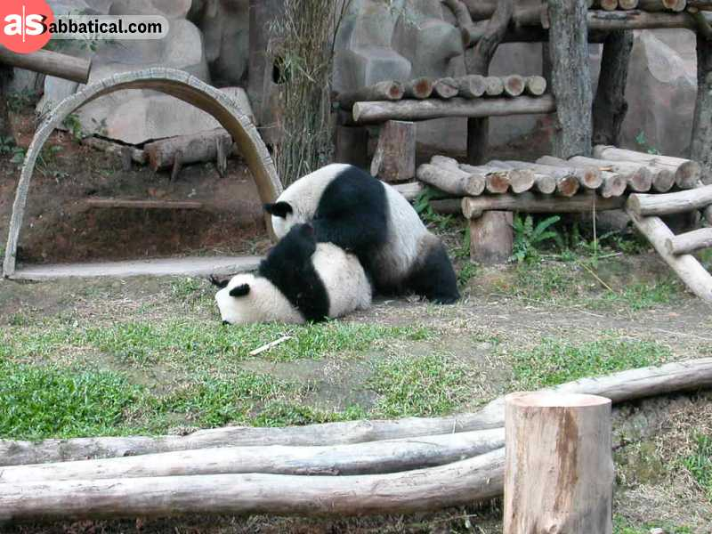 In the Chiang Mai Zoo, you can see the panda, an absolutely cute creature that is endangered and was sent as a gift from China.