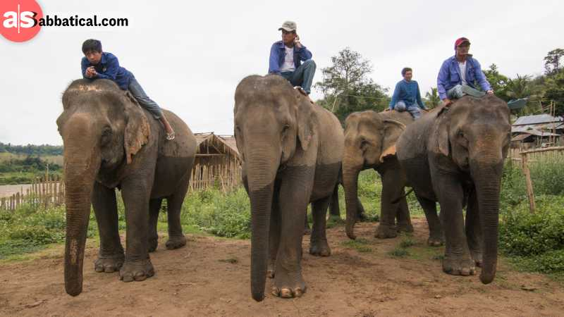 The Elephant Village in Luang Prabang is one of the best places when you can get a first-hand experience of these majestic creatures.