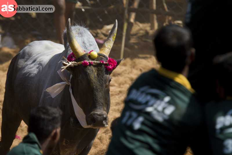 In Jalikattu, the participants compete to attain the prize from the head of the bull.