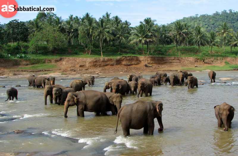 See magnificent elephants in Pinnawala Elephant Orphanage while on Sri Lanka.