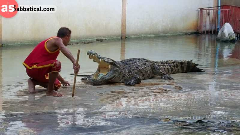 The crocodile farm is the main attraction of the Samutprakarn Zoo.