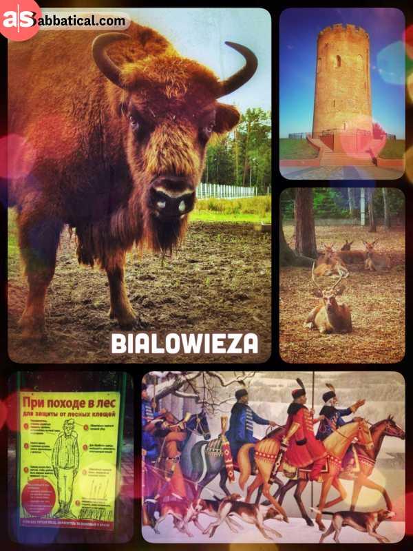 Belovezhskaya Pushcha - visiting the last European bisons and primeval forest