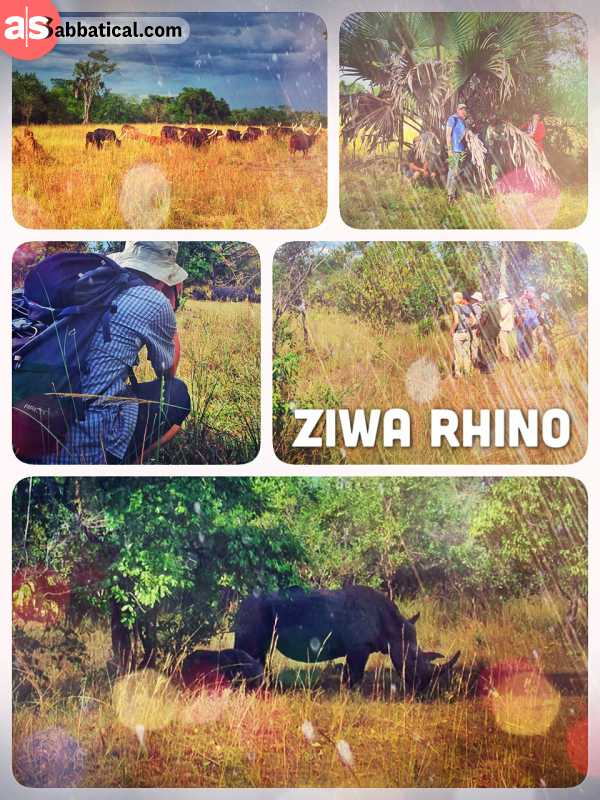 Ziwa Rhino Sanctuary - breeding and saving endangered White Rhinos in order to release back to nature