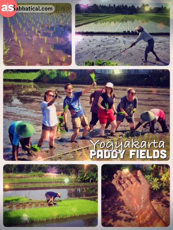 Rice Paddy Fields -