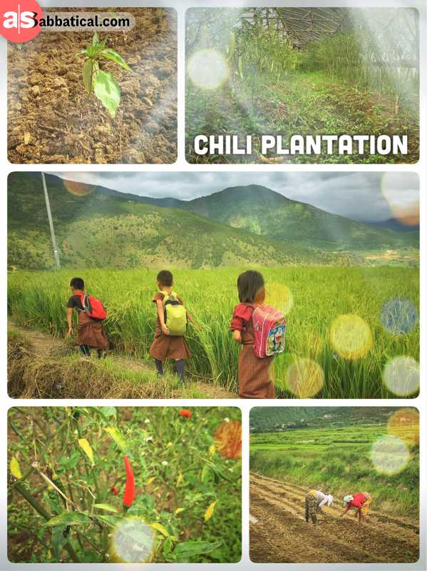 Chili Plantation - Chili peppers are something like a national dish in Bhutan