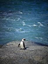 Near Cape Town: african penguin on a rock in Simon's Town