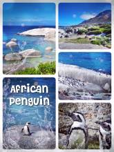 African Penguins - my first time to observe birds... along the coast near the village of Simon's Town