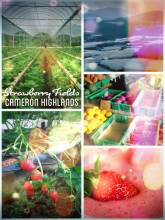Strawberry Fields - harvesting fresh and sweet Strawberries in the Cameron Highlands