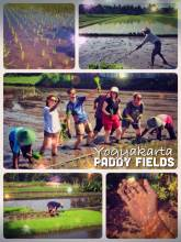 Rice Paddy Fields - planting and harvesting rice together with local farmers in Indonesia
