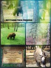 Motithang Takin Preserve - the national animal of Bhutan is endangered and looks rather odd