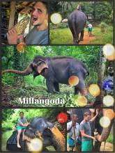 Elephant Village Molagoda - riding on an Elephant without a saddle and then scrubbing his back